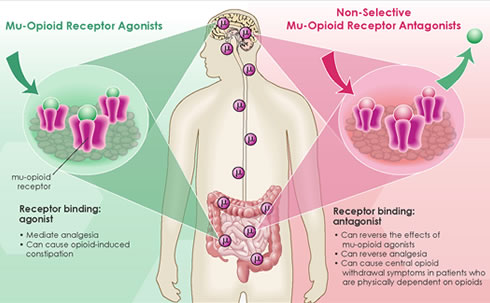 List of Opioid Agonist Drugs - Opiate.com